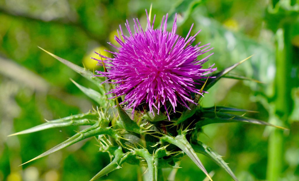 Milk Thistle improved Glugathione